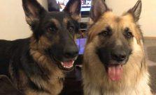 Pin By Bjp On Gsd German Shepherd Rescue German Dogs