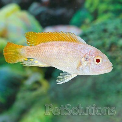 Albino Red Fin Zebra African Lake Malawi African Cichlids Mbuna Cichlids Cichlid Fish