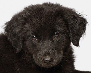 Pin On Labs Available For Adoption