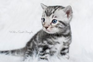 Bengal Kittens Cats For Sale Near Me Wild Sweet Bengals In 2020 Bengal Kitten Bengal Cat Facts Cats And Kittens
