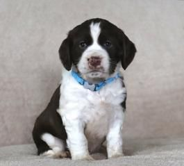 Stella English Springer Spaniel Puppy For Sale In Shippensburg Pa Lancaster Puppi In 2020 Spaniel Puppies For Sale Springer Spaniel English Springer Spaniel Puppy