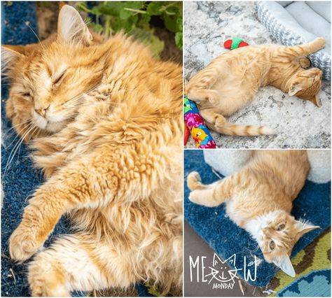 Meow Monday - pictures of cute cats to start the week. Come see what Felix, Mack, and Mango have been up to! #cats #kittens
