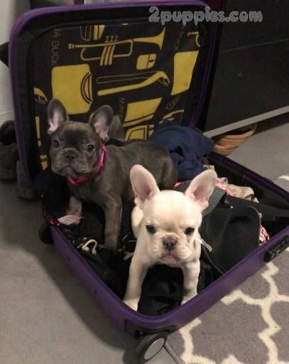 French Bulldog Dogs For Sale In United States Texas Austin You Can Also Check Our Dog Directory For More Pug Puppies For Sale Black Pug Puppies Pug Puppies