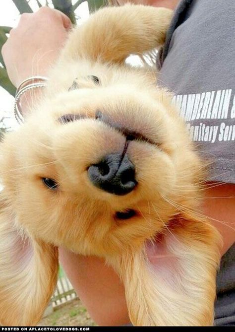 Golden Retriever Puppy....I wanna kiss him all over. So cute!!!
