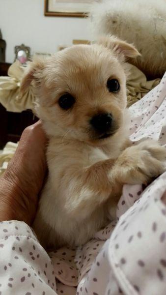 Maltese Chihuahua Puppy Chihuahua Puppies Chihuahua Puppies