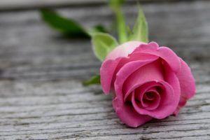 Pink Rose On Wood Hd Wallpapers Beautiful Pink Roses Flowers Rose Wallpaper