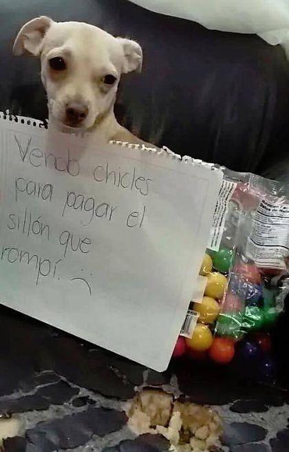 9 Mascotas Que Venden Golosinas Para Pagar Lo Que Rompieron Pretty Dogs Beagle Memes