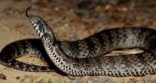 Resultado De Imagem Para Cobras Venenosas Cobras Cobras
