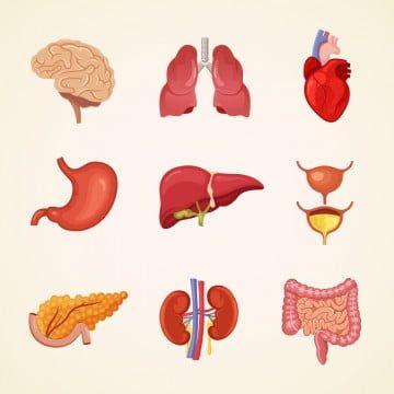 Human Anatomy Illustration Heart Body Medicine Liver Vector Biology Science Brain Stomach Internal Medical Set Organ Kid Human Vector Human Anatomy Art Anatomy