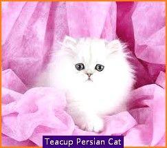 Teacup Persian Cat Miami In 2020 Teacup Persian Cats Persian Cat Cats