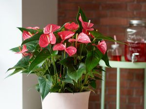 How To Get An Anthurium Plant To Bloom A Number Of Tips Anthurium Plant Anthurium Flower Anthurium