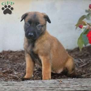 Liam Belgian Malinois Puppy For Sale In Pennsylvania Belgian Malinois Puppies Junk Mail Puppies For Sale B Malinois Puppies Belgian Malinois Puppies For Sale