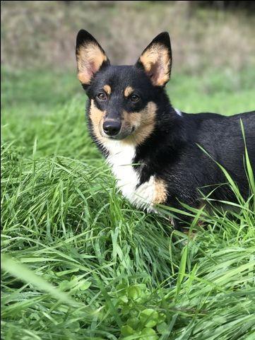 Litter Of 7 Pembroke Welsh Corgi Puppies For Sale In Myrtle Creek Or Adn 24589 On Puppyfinder Com G Corgi Corgi Puppies For Sale Pembroke Welsh Corgi Puppies