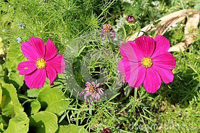 Garden Cosmos Or Cosmos Bipinnatus Or Mexican Aster Dark Purple Two Half Hardy Annual Fully Blooming Flower Dark Purple Flowers Purple Flowers Blooming Flowers
