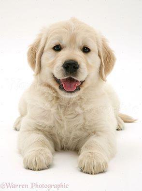 Netter Welpe Des Goldenen Apportierhunds Hunde Welpen Susse