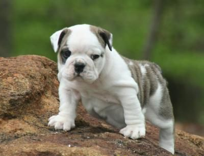 English Bulldog Puppy Sales Good Pricepurebreds Johnstown