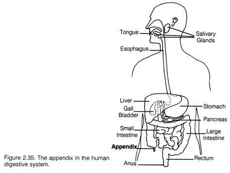 Human Digestive System Diagram Unlabeled