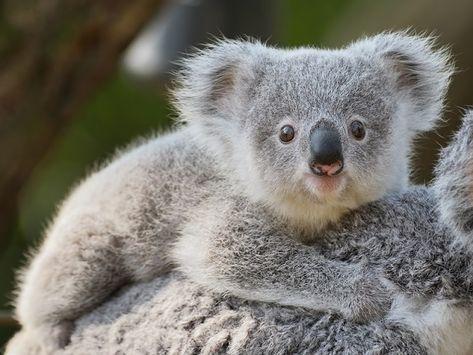 Call To Declare Koalas Endangered In Nsw En 2020