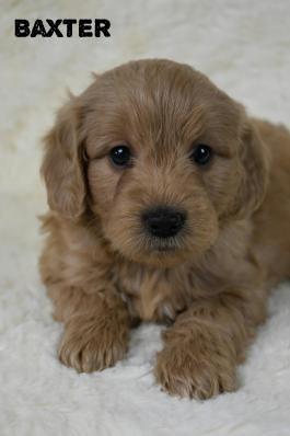 Mini Goldendoodle Puppies For Sale Lancaster Puppies Mini Goldendoodle Puppies Goldendoodle Puppy Goldendoodle