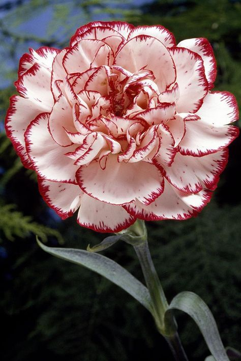 January: Carnation - ELLEDecor.com symbolize love and fascination