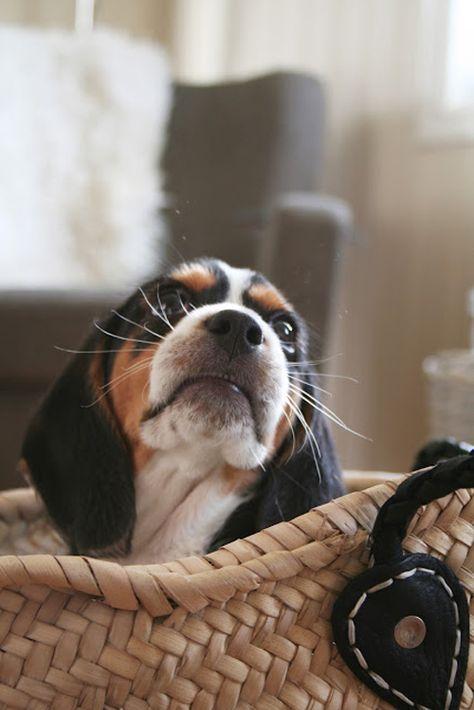 Beagle Puppy Dog #Hounds #Scenthounds