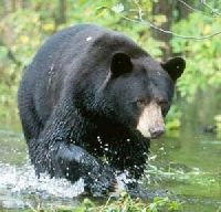 New Mexico black bear | New Mexico Black Bear Hunting Guides and Outfitters