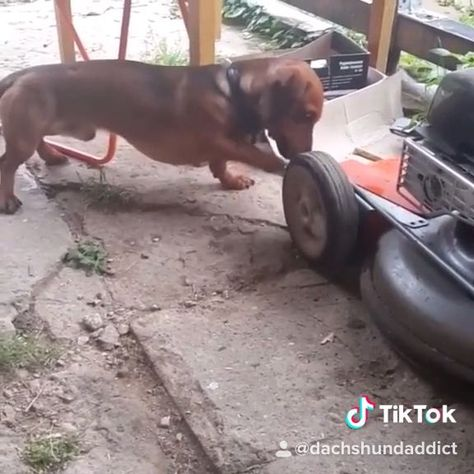 Funny Pet Video Weenie Dogs Sausage Dog Dachshund Love