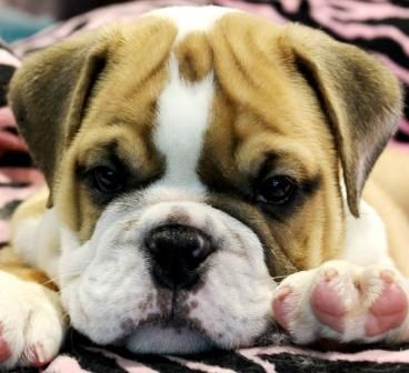 English Bulldog Puppies For Sale We Ship Very Safe Easy