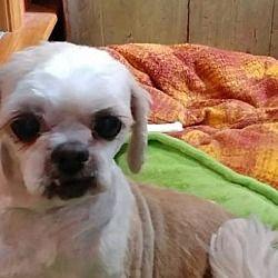 Beloit Wi Shih Tzu Meet Meg A Pet For Adoption Pet Adoption