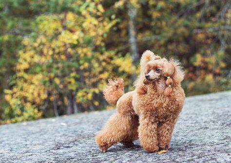 excellent_dogs #littlepoodleboy #houndandlife...
