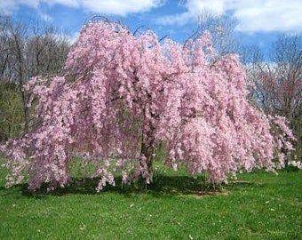 Higan Flowering Cherry Tree Seeds Prunus Subhirtella 10 Seeds In 2021 Trees To Plant Flowering Trees Flowering Cherry Tree
