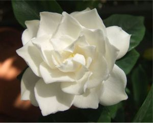 The Different Types Of Gardenias Flower Pictures Flowers Flower Meanings