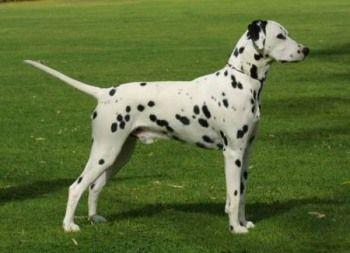 Dalmata http://www.mascotadomestica.com/razas-perros/dalmata.html