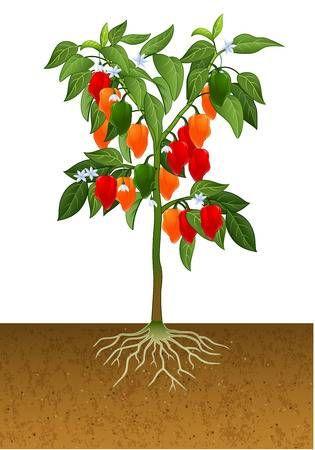 Ilustracion De La Planta De Chile Habanero Plantas De Chile Plantar Pimientos Plantas