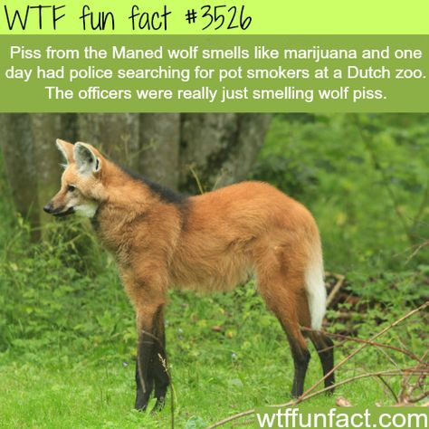 piss from the manned wolf smells like marijuana