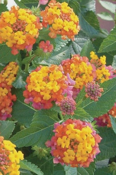 Wilson Bros Gardens The Tricolor Flower Clusters Of Yellow Pink And Orange Begin Appearing On Miss Huff Lantana In Late Spri Lantana Plant Flower Pots Lantana