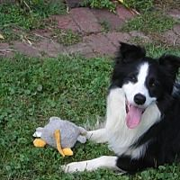 Omaha Nebraska Border Collie Meet Ziggy A For Adoption Https