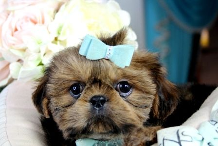 Shih Tzu Puppies For Sale We Ship Very Safe Easy Financing Available Visit Our Website Teacuppuppi Shih Tzu Puppy Teacup Puppies For Sale Teacup Shih Tzu