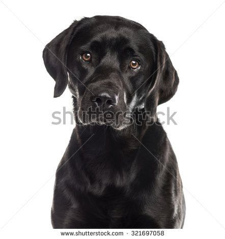 Close Up Of A Labrador In Front Of A White Background Whiteyorkie Shelter Dogs Dogs Cute Puppies