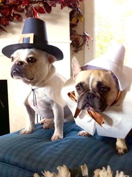 Boston Terrier Friendly And Bright Dog Thanksgiving Bulldog French Bulldog