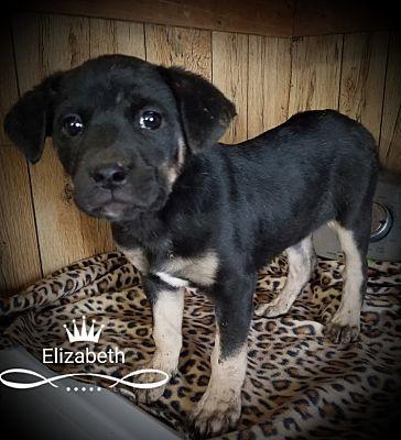 Albany Nc Labrador Retriever Meet Elizabeth A Pet For Adoption