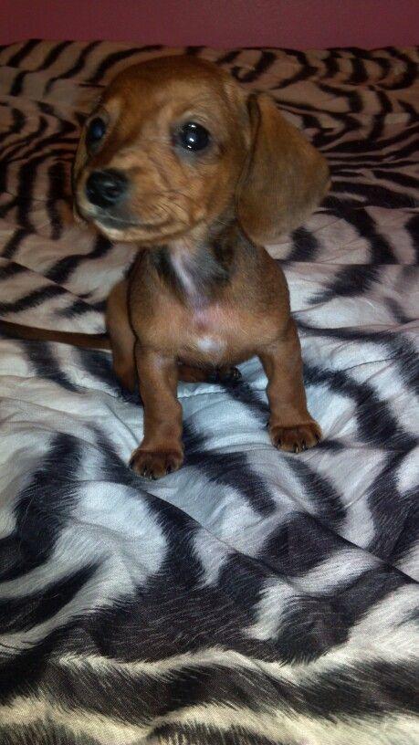 Mini Dashound Puppies 300 Call 740 262 7573 Animals Puppies Dogs