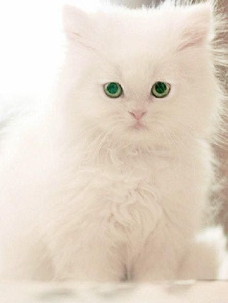 Cute Cats Image By Crystal Lee On White Cats And Kittens Pretty