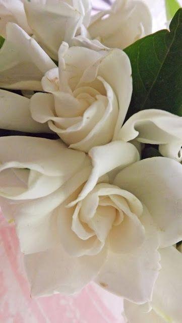 Mariette S Back To Basics Gardenia Passion Gardenia Fragrant Flowers Mushroom Cultivation