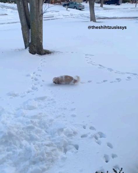 "Piper, Zoi, & Cali Grace on Instagram: ""Cali is loving the snow! ❄️ ⛄️ 🥶 . . . #shihtzu #shihtzus #dogsofinstagram #puppiesofinstagram #dogmodel #dogmodels #dogvideos #puppyvideos…"""