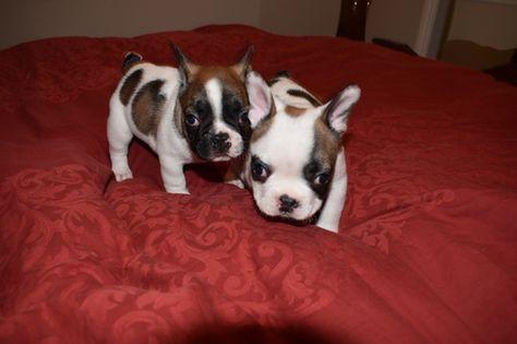French Bulldog Puppy For Sale In Sacramento Ca Adn 32583 On
