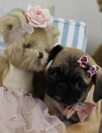 Tiny Pug Puppies For Sale We Ship Very Safe Easy Financing