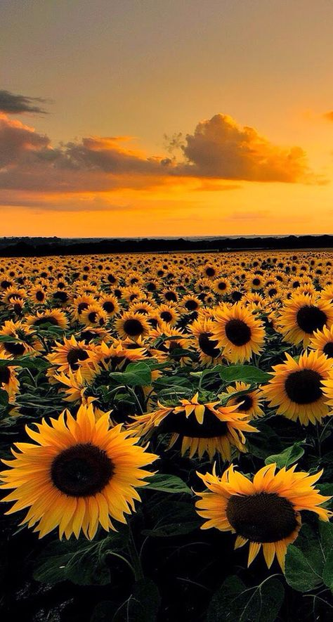Sunflower makes people feel warm.When you feel depressed, set sunflower as the wallpaper of your mobile phone, and you will think of the bright sunlight.