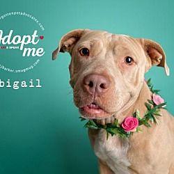 Dachshund Dog For Adoption In Pearland Tx Adn 777569 On