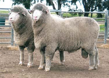 Rafter 7 Ram Sale Quality Merino Sheep For Sale Excellent Wool Rafter 7 Merinos Merino Sheep Quality Merino And Ramb Merino Sheep Sheep For Sale Sheep Breeds